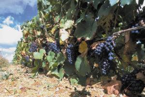 Rangée de vigne avec du raisin rouge mûr
